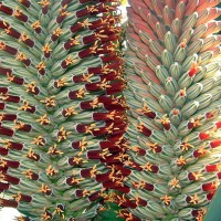Photo Thumbnail #22: Aloe speciosa.