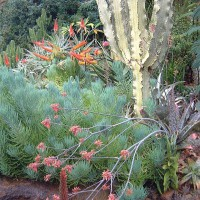 Photo Thumbnail #13: Senecios, Euphorbia ammak, and aloes.