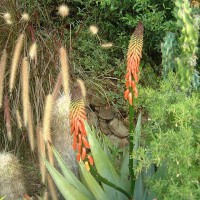 Photo Thumbnail #28: Aloe reitzii blooming.