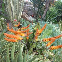 Photo Thumbnail #4: Two Aloe marlothii v. spectabilis in bloom with...