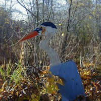 Photo Thumbnail #27: This Blue Heron was spotted in my wetland area.