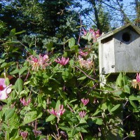 Photo Thumbnail #2: The Honeysuckle Vine is SO fragrant and the...