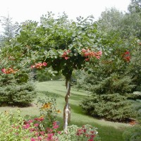 Photo Thumbnail #10: This is a Trumpet Vine which I have trained...