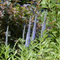 Photo Thumbnail #20: Blue Charm Veronica, 3-4 feet high and if...