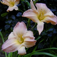 Photo Thumbnail #7: I am not a collector of daylillies, infact I...