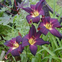 Photo Thumbnail #25: I love the deep color of this daylilly.