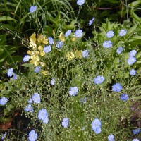 Photo Thumbnail #9: Linum or Blue Flax is VERY DROUGHT TOLERANT....