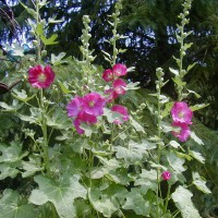 Photo Thumbnail #29: Old fashion hollyhocks are a must in all...