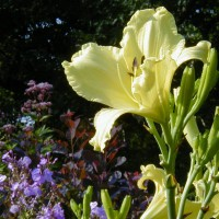 Photo Thumbnail #4: This light yellow daylilly, Whirl of Lace is...