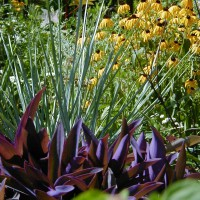 Photo Thumbnail #22: The burgundy plant is a house plant 'Moses in...