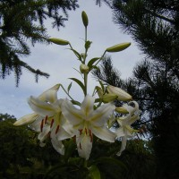 Photo Thumbnail #15: So fragrant and at least 5 feet tall.