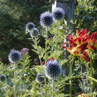 Photo Thumbnail #3: Globe Thistle adds great texture and form. The...