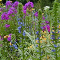 Photo Thumbnail #18: The tall Great Blue Lobelia is an excellent...