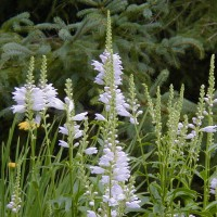 Photo Thumbnail #16: Obedient Plant