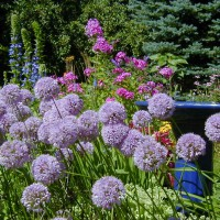 Photo Thumbnail #21: A late blooming Allium adds a nice globe form.