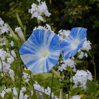 Photo Thumbnail #12: This is a new variety for me of morning glory....