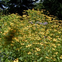Photo Thumbnail #2: Brown Eyed Susans, branched coneflower native...