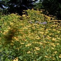 Photo Thumbnail #2: Brown Eyed Susans, branched coneflower native...