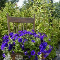 Photo Thumbnail #7: This SUPER TUNIA, Blue Velvet just keeps...