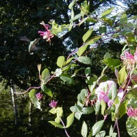 Photo Thumbnail #2: Honeysuckle Vine and Mandevilla Vine are a...