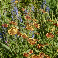 Photo Thumbnail #19: Helenium (Sneezeweed) and Great Blue Lobelia...