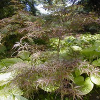 Photo Thumbnail #3: Fineleaf Japanese Maple and hosta Sum and...