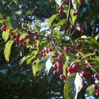 Photo Thumbnail #9: Crab apples that don\'t drop. Looks so pretty...