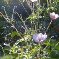 Photo Thumbnail #11: Anenome is so dainty and I love the buds.