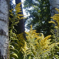 Photo Thumbnail #17: Goldenrod against the white bark of the Aspens....