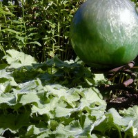 Photo Thumbnail #15: I use Ladies Mantle as a ground cover. I love...