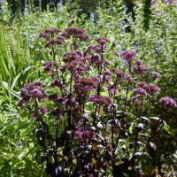 Photo Thumbnail #3: Sedum, Purple Emperor adds that burgundy that I...