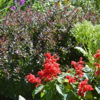 Photo Thumbnail #6: Pgymy Barberry and Salvia.