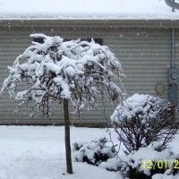 Photo Thumbnail #10: our weeping pea covered with snow