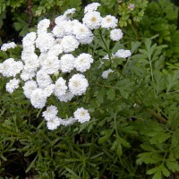Photo Thumbnail #9: Feverfew, herb, blooms from late Spring until a...