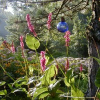 Photo Thumbnail #10: Fleece Flower blooms from early summer until a...