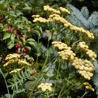 Photo Thumbnail #3: Tansy, a herb, attracts benificial insects....