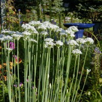 Photo Thumbnail #1: Garlic Chives yummy for cooking and salads....
