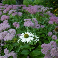 Photo Thumbnail #7: Autumn Joy Sedum and White Coneflower