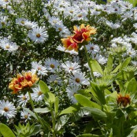 Photo Thumbnail #14: Goblin, Gaillardia and 12in white Aster