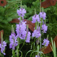 Photo Thumbnail #4: Obedient Plant