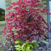 Photo Thumbnail #28: Bloodleaf Plant