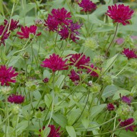 Photo Thumbnail #6: Knautia is a great LONG bloomer and I love the...