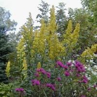 Photo Thumbnail #27: Hot pink Alma Potschke Aster, Stiff Goldenrod...