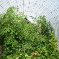 Photo Thumbnail #8: Tomatoes love the hoop house