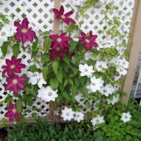 Photo Thumbnail #13: Clematis