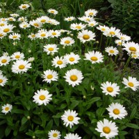 Photo Thumbnail #16: These shasta daisies are great in our windy...