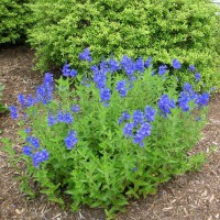 Photo Thumbnail #11: These bright blue blossoms are veronica 'Crater...