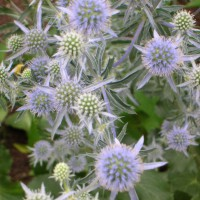 Photo Thumbnail #19: This is sea holly -- perfect for a coastal garden.