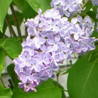 Photo Thumbnail #9: This 'President Lincoln' lilac grows right...