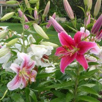 Photo Thumbnail #2: I love oriental lilies -- and so do the lily...